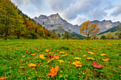 colorful maple leaves in autumn colors, region Ahornboden, Tirol, Austria