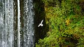 Eine Möwe vor einem Wasserfall im Hochland von Island