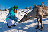 feeding reindeer in Pyhä, Pyhä-Luosto National park, finnish Lapland