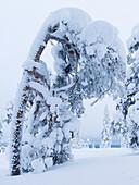 heavy load on the trees of Luosto, finnish Lapland