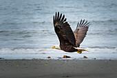 bald eagle in flight, Kenai Peninsula, Alaska, USA