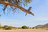 southern yellow-beaked hornbill on a branch in Namibia, Afrika