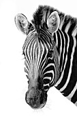 Black and white image of a zebra in the Namib Desert, Namibia, Africa