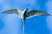 arctic tern in flight at the south coast of iceland