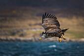 white-tailed sea eagle attacking, Vesteralen, Norway