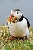 Puffin building a nest, Latrabjarg, Westfjords, Iceland