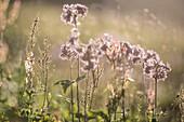 Alpine flower meadow, summer flowers, summer meadow, hiking holiday, nature, Mountain tour, Alpine meadow, break, hiking trails, Allgäu, Alps, Bavaria, Oberstdorf, Germany