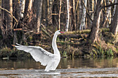 Spreewald Biosphere Reserve, Brandenburg, Germany, Water Hiking, Kayaking, Recreation Area, Wilderness, River Landscape, Swan spreading its wings, Mute Swan, Swans, Birds