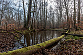 Spreewald Biosphere Reserve, Brandenburg, Germany, Kayaking, Recreation Area, Wilderness, Day Trip, River Landscape and Beech Grove, Deciduous Forest and winter Landscape, Moor, Deadwood, Moss, Dawn