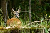 Spreewald biosphere reserve, Brandenburg, Germany, recreational area, forest, deer in a beech grove, wilderness, wildlife