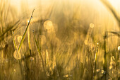 Spreewald Biosphere Reserve, Brandenburg, Germany, recreational area, wilderness, wild meadow with blades of grass and dew drops at sunrise, dawn, flower meadow