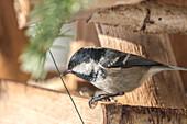 Germany, Bavaria, Alps, Oberallgaeu, Oberstdorf, Great tit in its birdhouse, songbirds, bird food, feeding birds