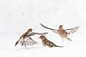 Germany, Bavaria, Alps, Oberallgaeu, Oberstdorf, Mountain finch in the snow, songbirds, bird, finches,  winter feeding