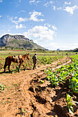 tobacco farmer in Vinales on his field with horse, best tobacco growing region in the world, countryside, beautiful nature, family travel to Cuba, parental leave, holiday, time-out, adventure, National Park Vinales, Vinales, Pinar del Rio, Cuba, Caribbean