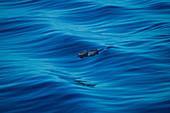 Delfine eskortieren Expeditions-Kreuzfahrtschiff MS Bremen (Hapag-Lloyd Cruises) auf der Reise von Indonesien nach Borneo, Südchinesisches Meer, nahe Indonesien, Asien