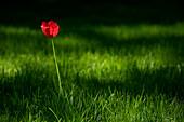 Eine einsame Tulpe wird in einem Feld von Gras von der Sonne angeleuchtet, Yuzhno-Sakhalinsk, Sakhalin-Insel, Russland, Asien