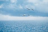 Two Kamchatka seagulls (Larus canus kamtschatschensis) fly close together over the sea, Yankicha Island, Uschischir, Kuril Islands, Sea of Okhotsk, Russia, Asia