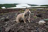 An Arctic ground squirrel (Spermophilus parryii or Urocitellus parryii) fills its cheeks with food before returing to its burrow, near Petropavlovsk-Kamchatsky, Kamchatka, Russia, Asia
