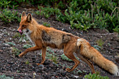 A red fox (Vulpes vulpes) trots through bushes in hopes of pray, near Petropavlovsk-Kamchatsky, Kamchatka, Russia, Asia