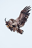 A young bald eagle (Haliaeetus leucocephalus) puts its talons forward to land, Unalaska Island, Alaska, USA, North America