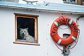 A small white dog looks out from the window of a boat, Petersburg, Mitkof Island, Alaska, USA, North America