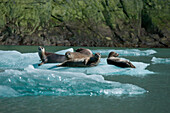 A group of harbor seals (Phoca vitulina) rest on an ice floe near Sawywer Glacier, Tracy Arm, Stephens Passage, Tongass National Forest, Tracy Arm-Fords Terror Wilderness, Alasksa, USA, North America