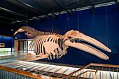 A 36 foot-long skeleton of a Grey Whale hangs in the Kodiak National Wildlife Refuge Visitor Center, Kodiak, Kodiak Island, Alaska, USA, North America