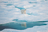 A polar bear (Ursus maritimus) stands on a hill of ice, its reflection visible in a pool of blue water below, Fury and Hecla Strait, Nunavut, Canada, North America