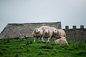 Sheep cluster together on a hill, not far from Scara Brae, West Mainland Island, Orkney Islands, Scotland, Great Britain, United Kingdom
