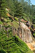 Endemic Norfolk Pines grow on the steep slopes above Anson Bay, Australia