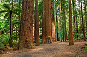 Person trying to embrace huge redwood tree, Redwood Forest, Whakarewarewa Forest, Rotorua, Bay of Plenty, North island, New Zealand
