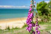 Pink foxglove, Abel Tasman Coastal Track, Great Walks, Abel Tasman National Park, Tasman, South island, New Zealand