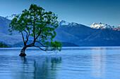 Willow tree standing in Lake Wanaka, Lake Wanaka, Mount Aspiring National Park, UNESCO Welterbe Te Wahipounamu, Queenstown-Lake District, Otago, South island, New Zealand
