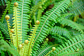 Fern, at Mount Alfred, Fiordland National Park, UNESCO Welterbe Te Wahipounamu, Queenstown-Lake District, Otago, South island, New Zealand