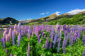 Blue and pink lupines with mountains of Fiordland National Park, Fiordland National Park, UNESCO Welterbe Te Wahipounamu, Queenstown-Lake District, Otago, South island, New Zealand