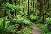 Track leading through forest with fern trees, Hump Ridge, Hump Ridge Track, Fiordlands National Park, UNESCO world heritage Te Wahipounamu, Southland, South island, New Zealand