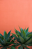 Agave in front of orange wall