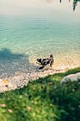 Dog at Ehrwalder Almsee, Reutte, Tirol, austria, europe.