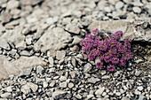 Purple flowers around Lünersee in Brandnertal, Vorarlberg, austria, europe.