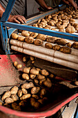 potato harvest, sorting machine, crop, harvest, yield, harvesting, farmer, organic, agriculture, farming, Bavaria, Germany, Europe