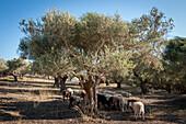 Flock of sheep grazing, Crete, Greece, Europe