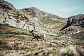 Deer in the nature of Greenland, greenland, arctic.