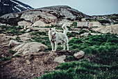 Dogs in the wilderness in greenland, arctic.