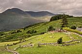sheep show close to Killarney national park, County Kerry, Ireland, Ring of Kerry, Wild Atlantic Way, Europe