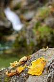 Autumn leaves with waterfall out of focus in background, Kuhflucht waterfall, Farchant, Ester Mountains, Bavarian Alps, Upper Bavaria, Bavaria, Germany