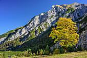 Herbstlich verfärbter Ahorn, Gramaialm, Karwendel, Naturpark Karwendel, Tirol, Österreich