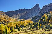 Herbstlich verfärbte Lärchen vor Felshorn in der Monte Formin-Gruppe, Cortina d' Ampezzo, Dolomiten, UNESCO Welterbe Dolomiten, Venetien, Italien