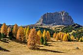 Herbstlich verfärbte Lärchen vor Langkofel, Langkofel, Dolomiten, UNESCO Welterbe Dolomiten, Venetien, Italien