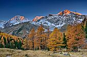 Herbstlich verfärbte Lärchen vor Königsspitze, Zebru und Ortler im Alpenglühen, Sulden, Ortlergruppe, Südtirol, Italien