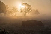 Pasture with cattle in fog at sunrise, Hesel, Friedeburg, Wittmund, East Frisia, Lower Saxony, Germany, Europe